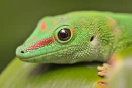 Madagascar Day Gecko | 2013
